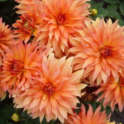 4 stuks Autumn Fairy