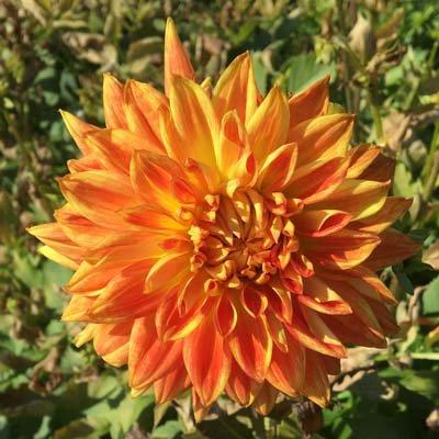 4 stuks Sun Explosion Levering vanaf december