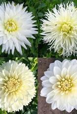 4 Stück weiße Dahlien