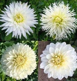 4 stuks Witte Dahlia's