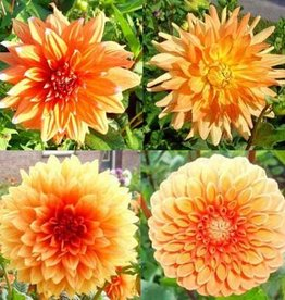 4 stuks Oranje Dahlia's