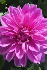 4 stuks Lilac Time Levering vanaf december