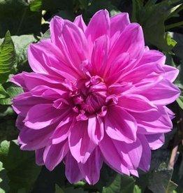 4 Stück Lilac Time