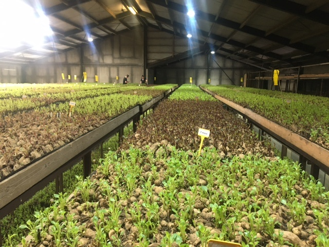 Dahliaknollen planten en stekken maken