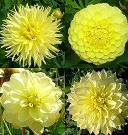 4 stuks Gele Dahlia's
