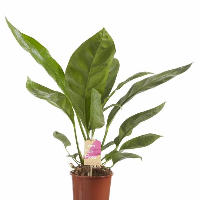 Anthurium Jungle King - 60cm