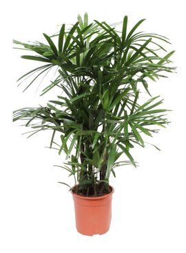 Rhapis palm (Stok palm)  Ø27cm