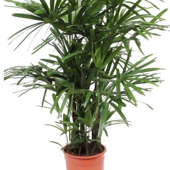 Stok Palm - 100cm