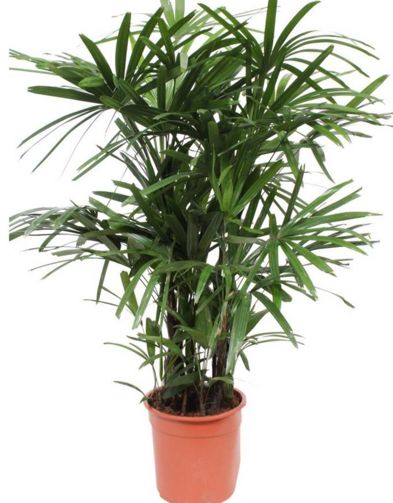 Green Bubble Rhapis Excelsa (Stok palm)