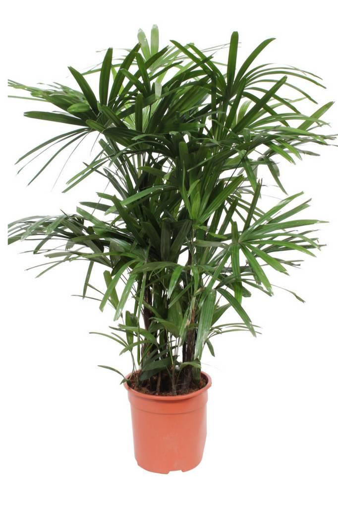 Rhapis Excelsa (Stok palm)