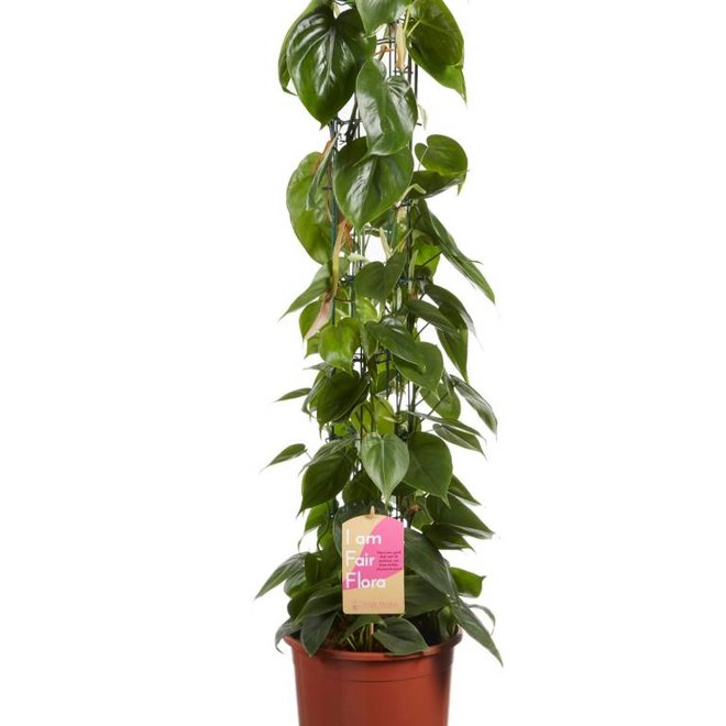 Philodendron scandens - 100cm