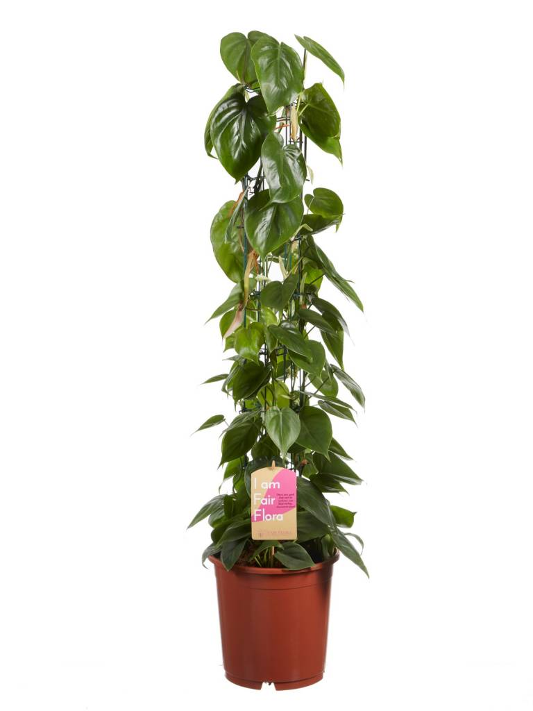 Philodendron (diverse)