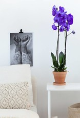 Paarse orchidee: Colorchid