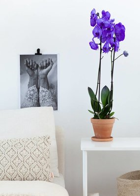 Colorchid Exclusive Paarse orchidee