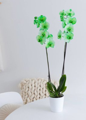 Colorchid Exclusive Groene orchidee