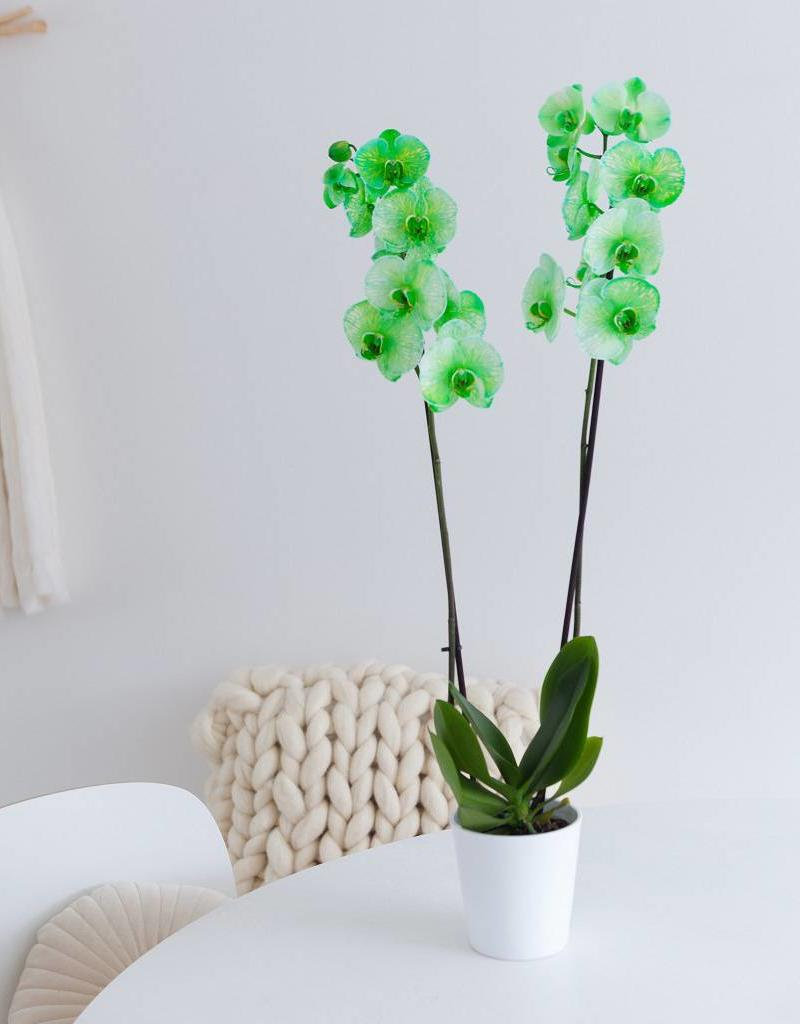 Colorchid Exclusive Colorchid: groene orchidee