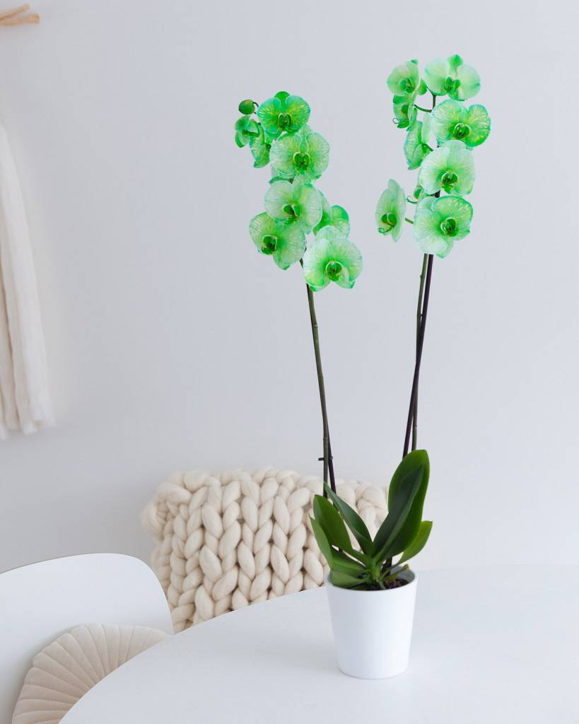 Groene orchidee: Colorchid