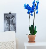 Blauwe orchidee: Colorchid