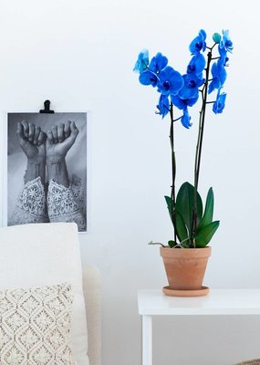 Colorchid Exclusive Blauwe orchidee