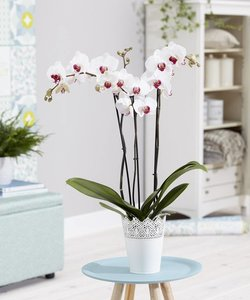 Orchidee Cherry Kiss