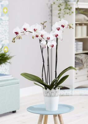 Orchidee Dublin