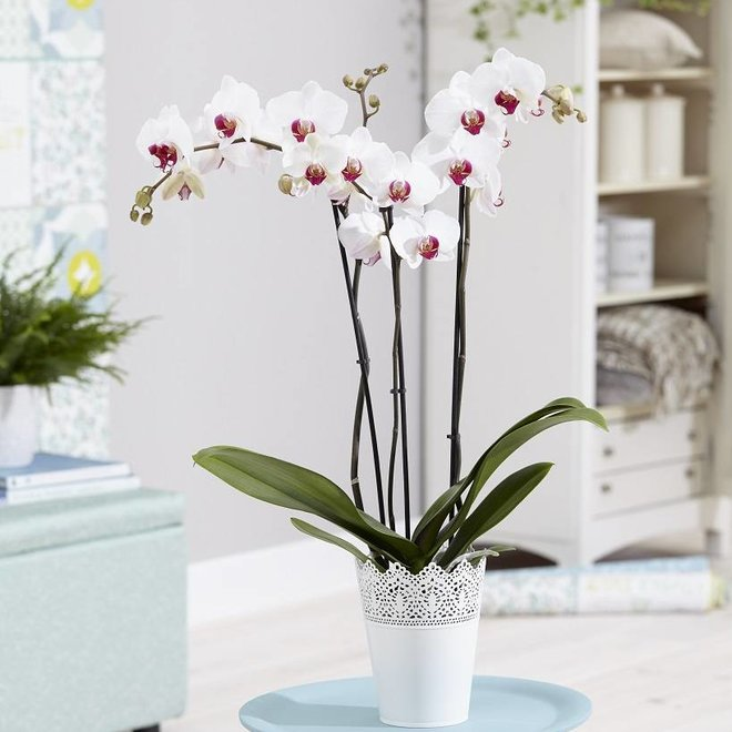Green Bubble Cherry Kiss orchid (Phalaenopsis) - 70cm