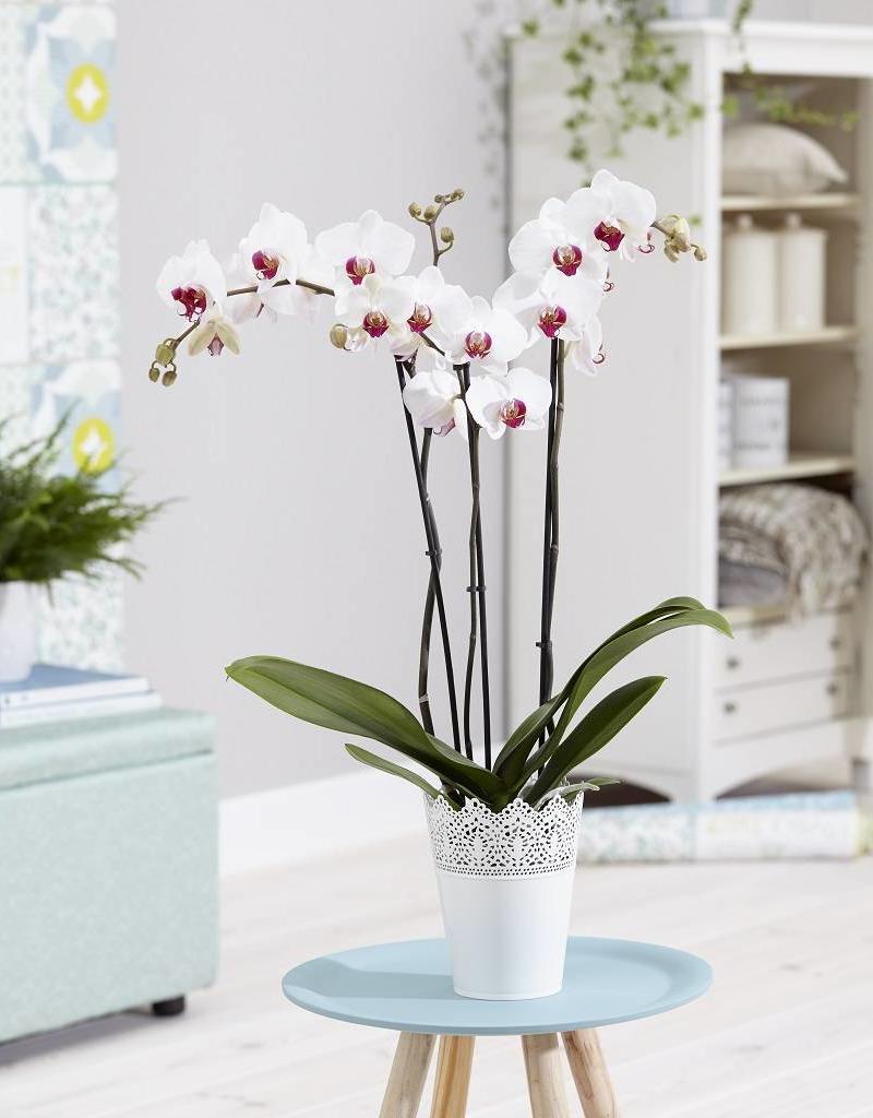 Orchidee Cherry Kiss