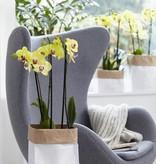 Phalaenopsis Limelight (incl. verzendkosten)