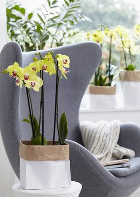 Orchidee Limelight