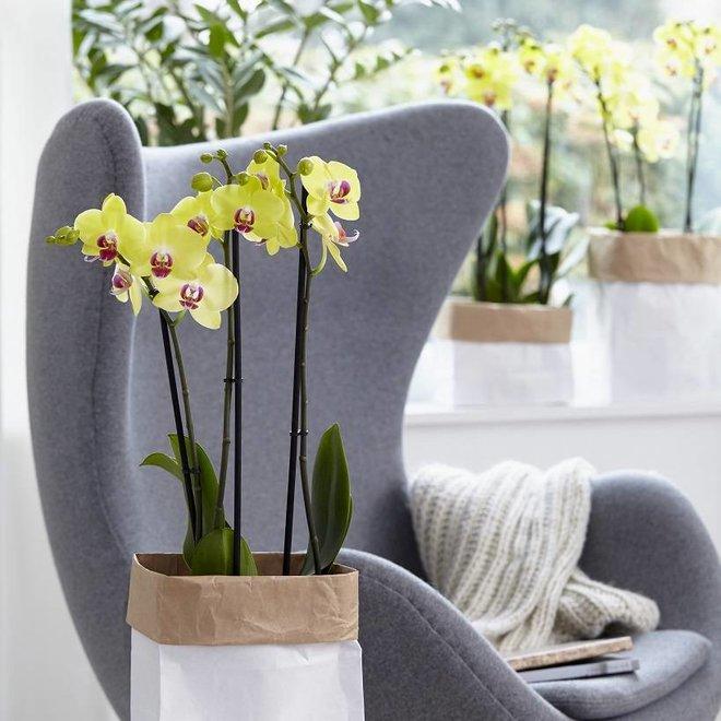 Orchidee Fresh (Phalaenopsis) - 70cm