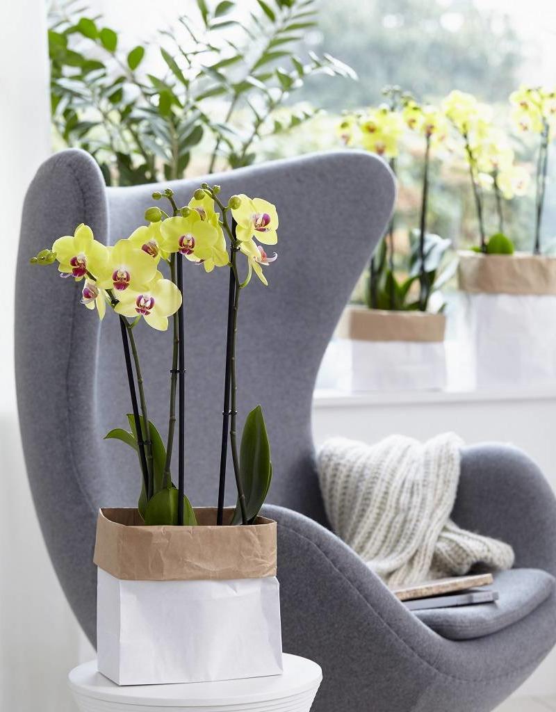 Green Bubble Gele orchidee Fresh