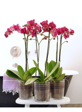 Orchidee Montreux