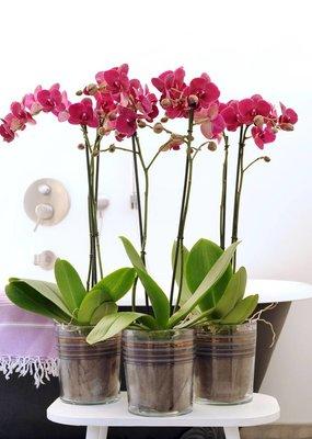 Orchidee Bellini
