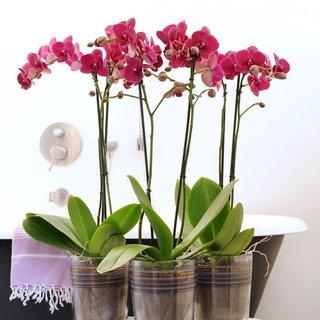 Bellini orchid