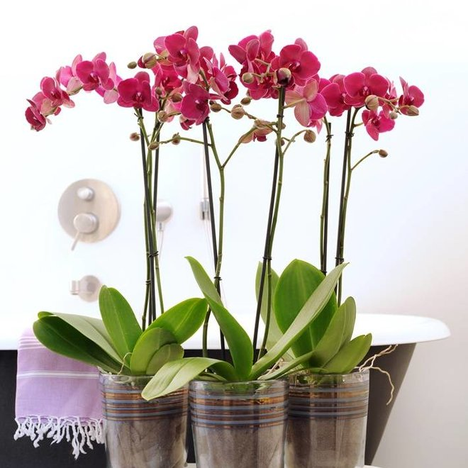 Bellini orchid (Phalaenopsis) - 70cm