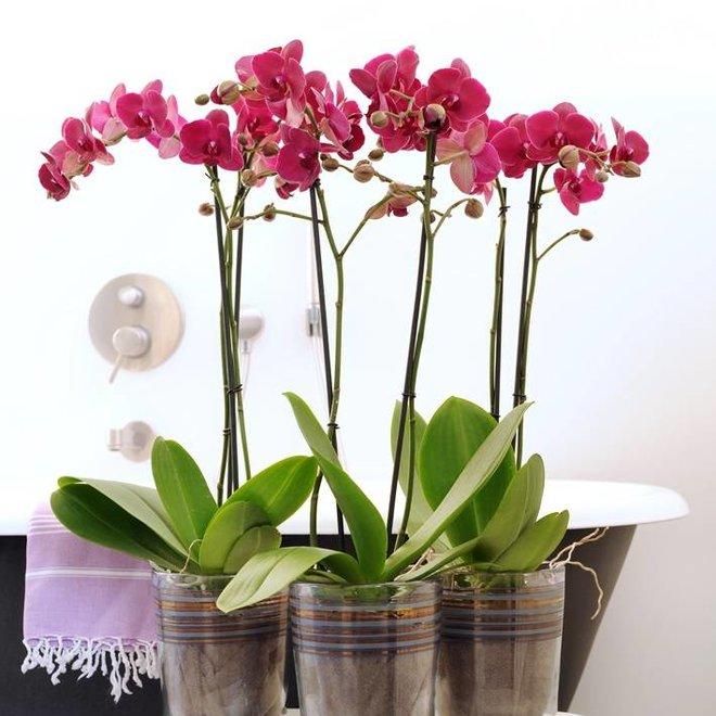 Orchidee Bellini (Phalaenopsis) - 70cm