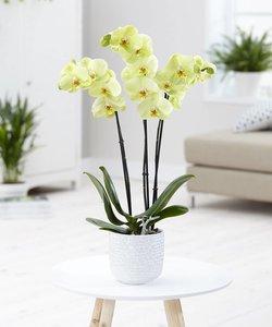 Orchidee Honey