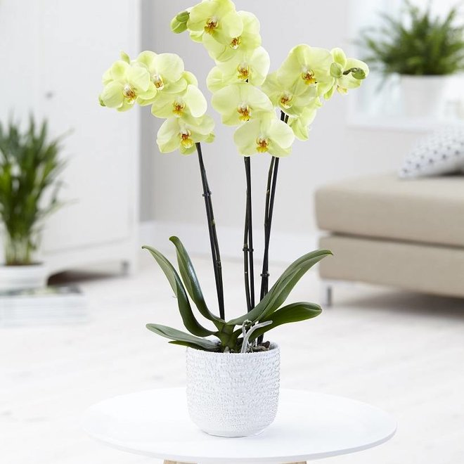 Orchidee Honey  (Phalaenopsis) - 70cm