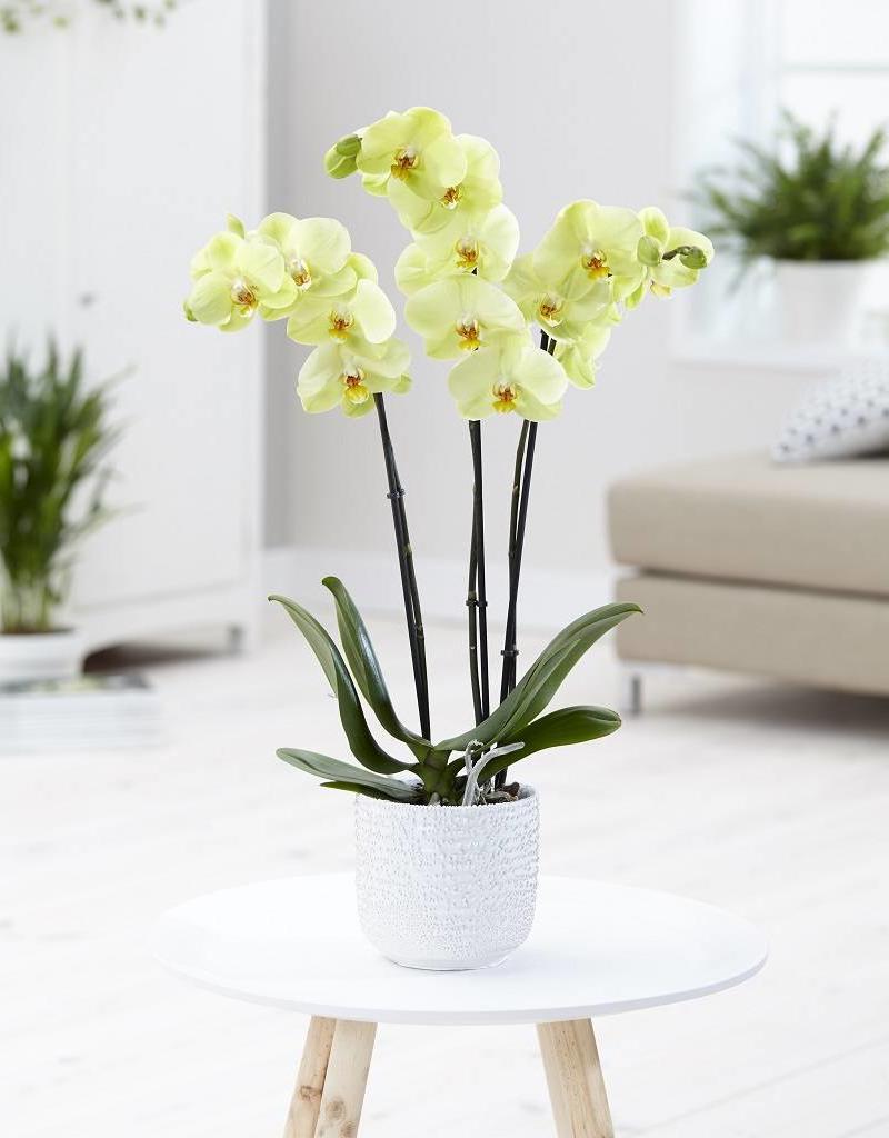 Green Bubble Gele orchidee Honey