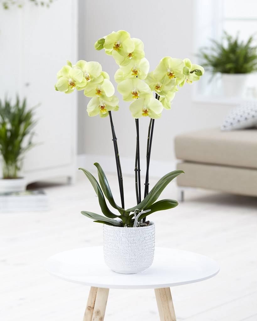 Orchidee Yara