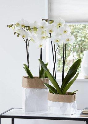Orchidee Leeds