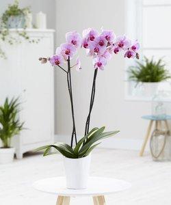 Orchidee Crush