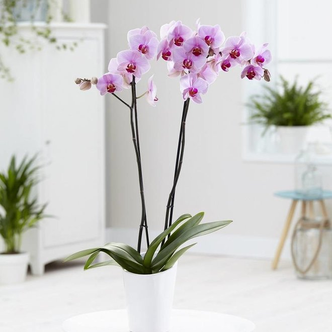 Green Bubble Orchid Crush (Phalaenopsis) - 70cm