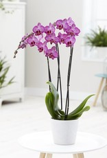 Paarse orchidee Dolly