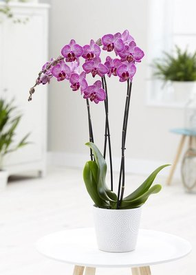 Orchidee Dolly