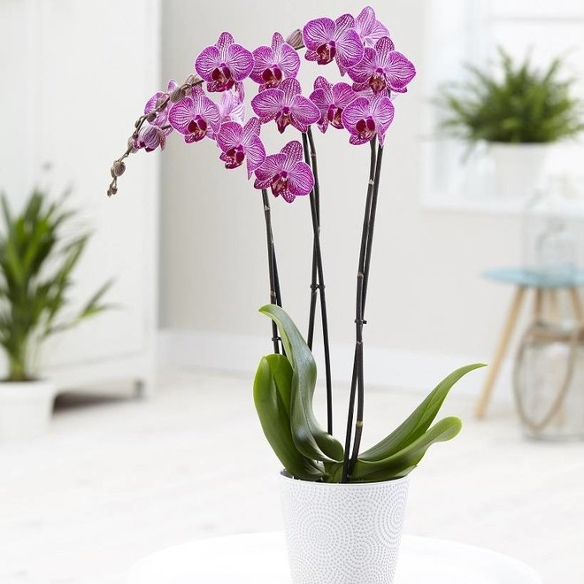 Orchidee Dolly (Phalaenopsis) - 70cm