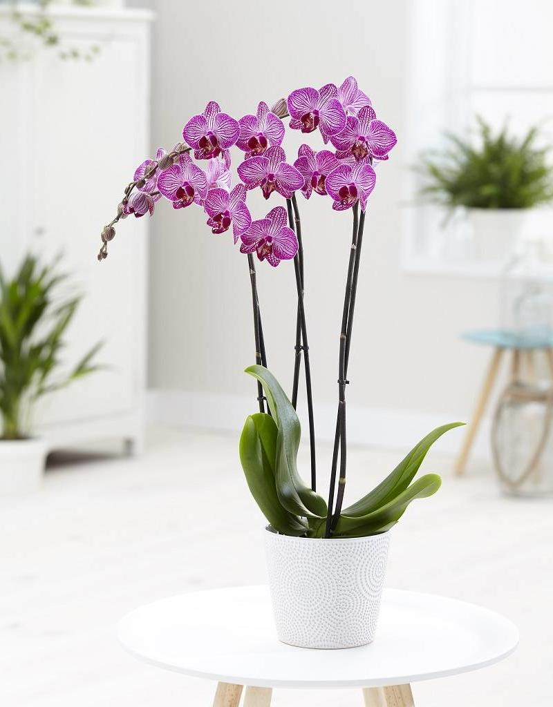 Orchidee Paso Robles