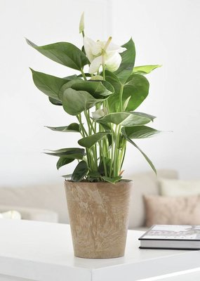 Green Bubble Anthurium White