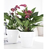 Anthurium Purple (Super Deal)