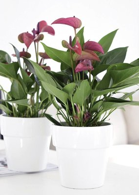 Anthurium Purple